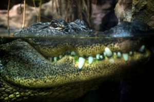 Gators - Photo credit: Alexander Montuschi